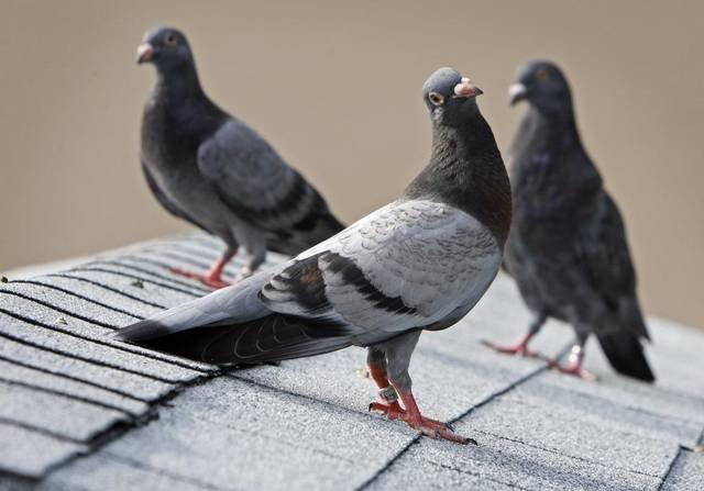Pigeonpiccc