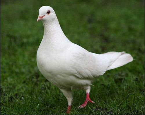 Pigeonpicccnew